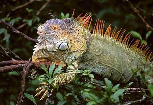 Мангровые острова, Игуана
