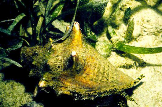 Громадные моллюски стромбусы